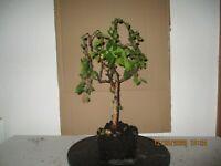 Pre Bonsai Birke  schöner Baum.Yamadori.Höhe 43 cm