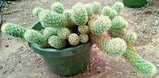 "Lemon Lady Finger Cactus Mammilaaria Elongata Dog Tail Rooted 7"" Long Pot #6"