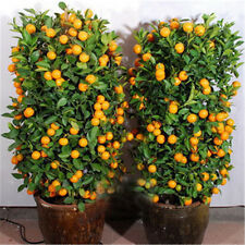 30Pcs Mandarin Citrus Orange Bonsai Tree Seeds Fruit Plants Home Garden Decor
