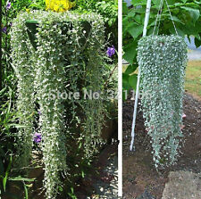 100 Dichondra Repens lawn seed dichondra repens excellent ground cover