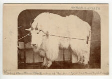 1871 Albumen Print A Real Rocky Mountain Goat Attributed AF Thrasher, Deer Lodge