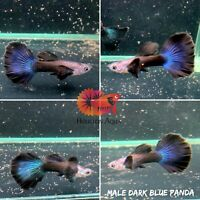 1 Pair - Dark Blue Panda Guppy VIP - Live Aquatic Guppy Fish Premium Grade A+++