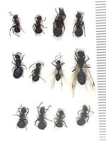 Beetle, Ants, 30254, Formicidae - MIX from Southern Russia