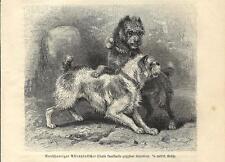 Stampa antica COPPIA DI CANI GRIFFONI A PELO DURO 1891 Antique print dogs