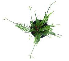 Asplenium cv. Kenzoi  - Houseplants or Indoorplants