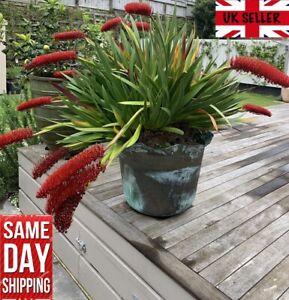 Poor Knights Lily 50 seeds Xeronema Callistemon Rare NZ plant. Same Day Dispatch