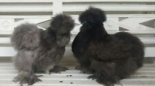 12 Bearded Silkie Hatching Eggs Assorted Colors