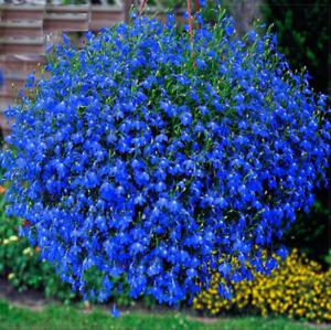 Seeds Lobelia Blue Сascade Cardinal Flower Annual Indoor Garden Heirloom Ukraine