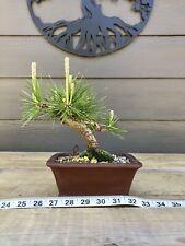 New listing Japanese Black Pine Bonsai