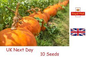 10 Seeds - SUPER MAX - Pumpkin Seed - HUGE GROWTH - UK Next Day