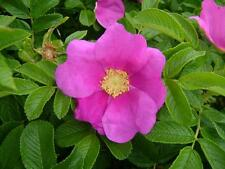 Wild{Dog}Rose*Rosa Rugosa*15-Finest Seeds*Healthy & Aromatic*Best For Hedges*UK