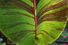Musa sikkimensis Red Tiger - Red Darjeeling Banana - 10 Seeds
