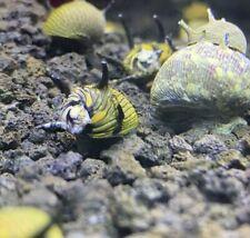 3 Sun Horned Nerite Snails (Clithon Donovani) - Live Freshwater Snail Plants