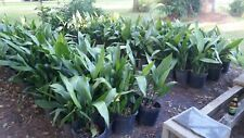 Cast Iron Plant Aspidistra Elatior 3gal plants shipped bare root