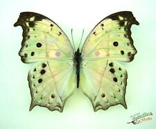 Mother of pearl butterfly Protogoniomorpha parhassus SET x1 TS A1 M artwork