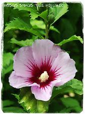 """Hibiscus Syriacus """"TREE Hollyhock"""" [ PROV. Ungheria ] 50 + semi"""