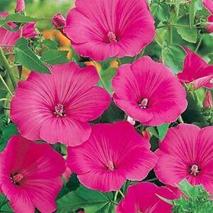 Rose Mallow- Lavatera Trimestris- Lovliness- 100 seeds