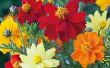 Bright Lights Cosmos 100+ Seeds Organic Newly Harvested, Beautiful Bright Flower