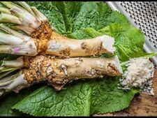 150 Graines de Raifort - plante aromatique potager - méthode BIO