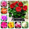 100 PCS Seeds Bonsai Hibiscus Potted Mutabilis Garden Home Perennial Plants NEW