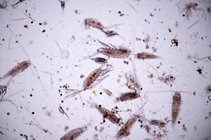 Marine copepods - 5 bags for £13.95 including postage and packing