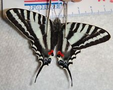 Eurytides marcellus Indiana #Mb-17 Zebra Swallowtail Butterfly Moth Insect