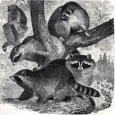 Common Raccoon 1894 Mammal Victorian Engraving