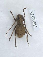 Tm82978 cerambycidae Rare Last One Henan