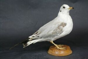 Taxidermy-hunting-chasse-präparat- Black-headed Gull with permit