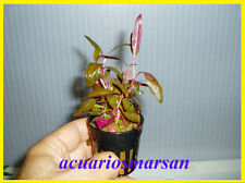 Planta de acuario, gambario. Alternanthera reineckii MINI