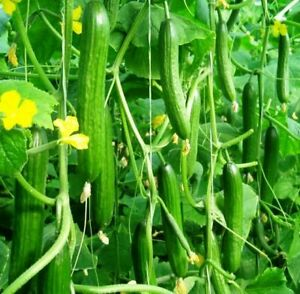 Seeds Indoor Cucumber Zozulya F1 Self-Pollinated Giant Pickling Organic Ukraine