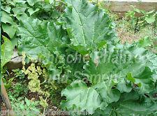 Rhabarber victoria rouge 20 graines Délicieuse plante rustique légumes et