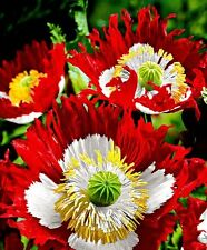 Poppy Danish Flag papaver Flower Seeds 200 + Fresh Seeds + gift
