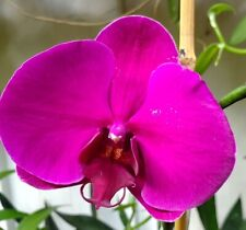 Phalaenopsis orchid All purple with large flowers Not in bloom, potted #2