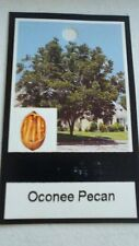 OCONEE PECAN TREE Shade Trees Live Healthy Plant Large Pecans Nuts Wood Garden