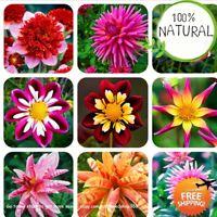 Dahlia Flower Gardens Seeds Plants Bonsai Gorgeous Flowers Beautiful 100pcs