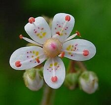 Porzellanblümchen Saxifra weiß winterhart wintergrün Steingarten Ableger Pflanze