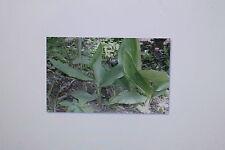 """10 Semi etiope Senape,Brassica carinata """"Gomenzer"""", # 24"""