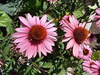 Roter Sonnenhut  100 Samen Purpur  Heilpflanze  Echinacea Purpurea