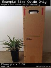 Pineapple - F180 (Ananas cosmosus) Fruit Tree Plant