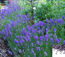 Lavender Lavandula angustifolia 300 Seeds - amazing fragnant - Perennial #619