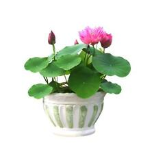 40P LO FLOWER LO SEEDS AQUATIC PLANTS Bowl Lotus Water Lily Seeds Low Price M8D6