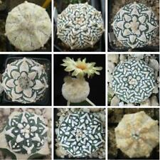 20pcs Imported succulent Plant Seeds Cactus Astrophytum asterias cv. Superkabuto