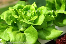 SEED TAPE - BUTTER LETTUCE - 5 METERS 400 seeds Vegetable lactuca