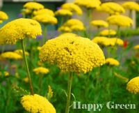 YARROW CLOTH OF GOLD - Achillea Filipendulina -  3100 seeds - Perennial flower