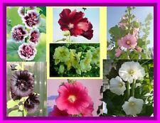 Graines de fleurs vivaces, ROSE TREMIERE Différentes variété en Mélange