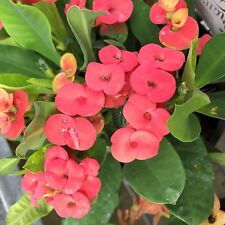 HESTIA Euphorbia milii Crown of Thorns all-year red flowers plant in 140mm pot