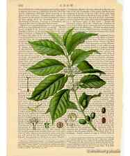 Coffee Plant & Beans Art Print on Antique Book Page Vintage Illustration Java