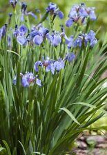 3 x Iris setosa canadensis plug plants