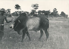 "CAMBODGE c. 1950 -Taureau ""virus"" à Pnomh Penh - DIV8364"